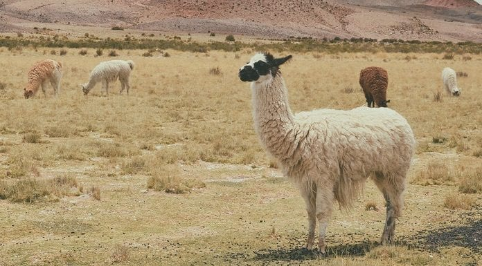 3 Count: Drama Llama - Plagiarism Today